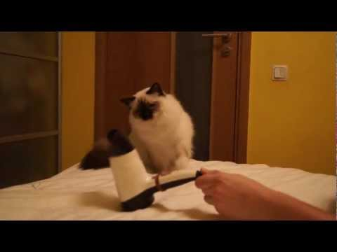 Кошки онлайн Birman cat boxing with hairdryer in HD